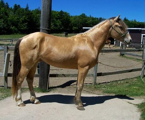 cheval Champagne ambré, variété de bai (Wikicommons)